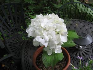 日陰の庭には白が似合います