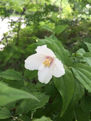 大好きなバイカウツギ・ベルエトワールが咲き始めました